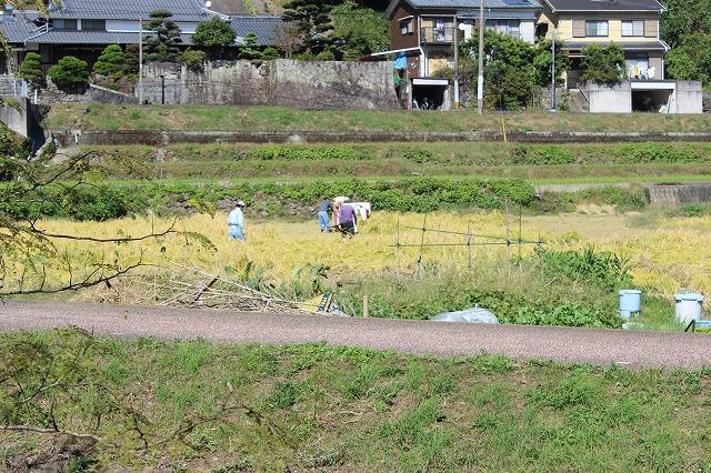 2013.1022 ドングリ、稲刈り、ミカン 001 (12)