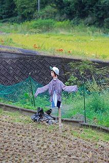 2013.10.05 中里稲刈り+コスモス 004