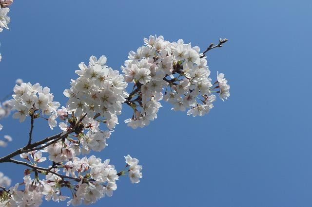 2014.03.27  自宅前桜並木満開 005