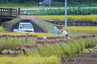 2013.10.05 中里稲刈り+コスモス 017