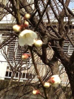 2013.2.07 梅の花 002