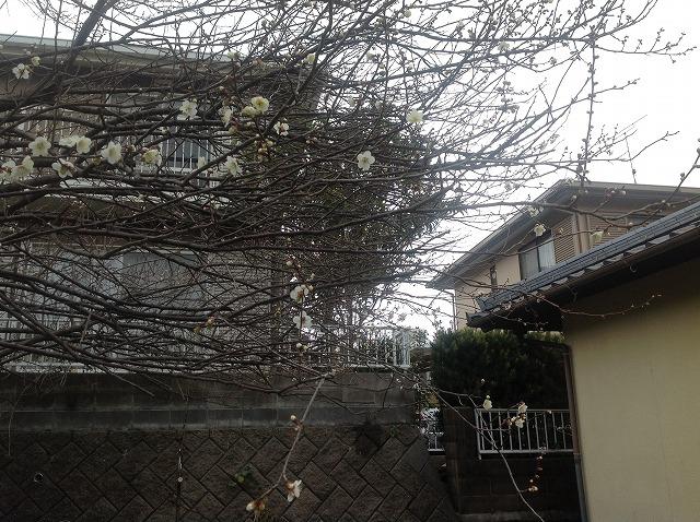 2014.02.03 梅の開花 007