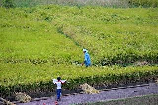 2013.10.05 中里稲刈り+コスモス 015