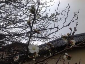 2014.02.03 梅の開花 002