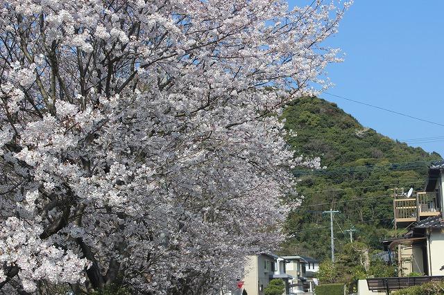 2014.03.27  自宅前桜並木満開 004