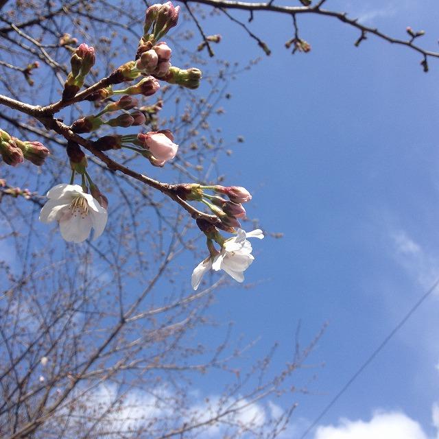 2014.03.21  自宅前の桜並木 001