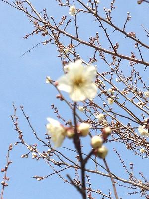 2013.2.07 梅の花 001