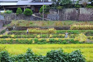 2013.10.05 中里稲刈り+コスモス 001