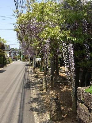 2013.4.19 古賀藤棚 002