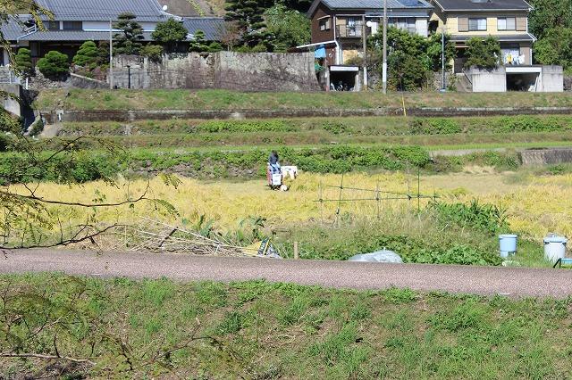 2013.1022 ドングリ、稲刈り、ミカン 001 (9)