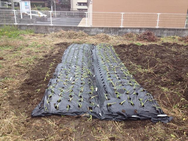 2013.11.28 玉葱植え 001